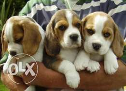 Male and Female Beagle pups