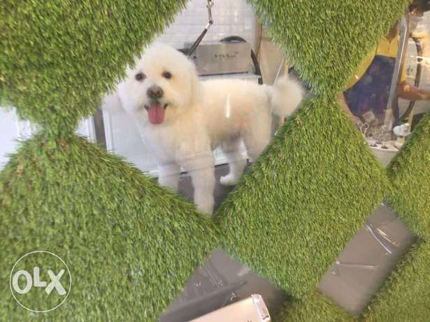 Maltese Male Dog for Adoption