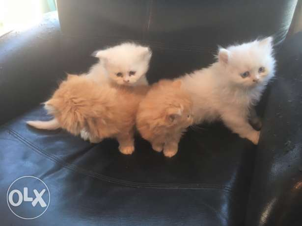 2 months old Persian kittens for sale.