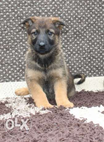 German shepherd dog for house an children