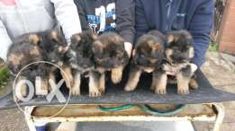 German Shepherd Top Bloodline Gsd Puppies