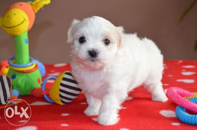 Kc Maltese Puppies Girls & Boys Now Ready