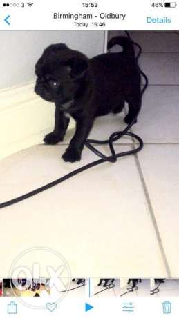 Cute Black Adorable Pug Puppy Available