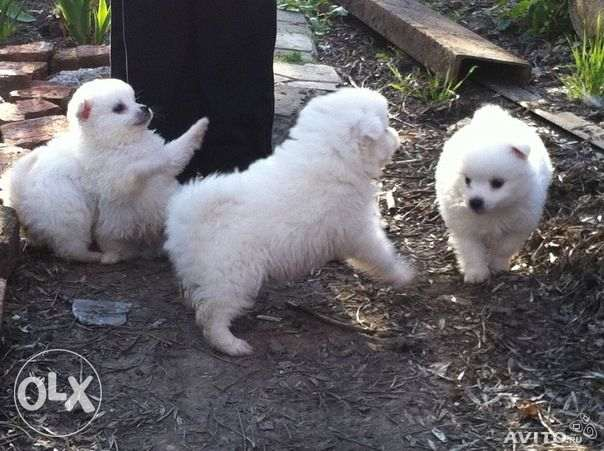 adorable male and female Pomerania puppies ready for new homes