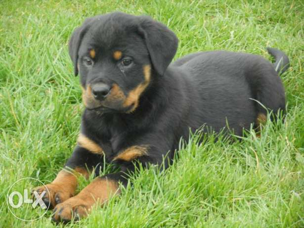 Beautiful Rottweiler Puppies Parents Health Tested