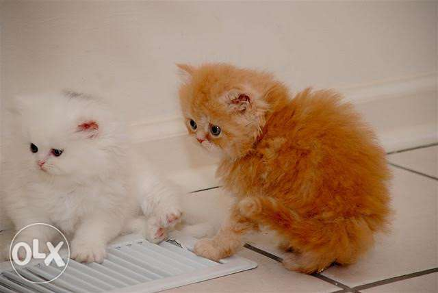 Male and Female Persian Kittens Available for adoption