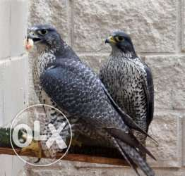 Proven Breeding Pair Scottish Peregrine Falcons for Sale