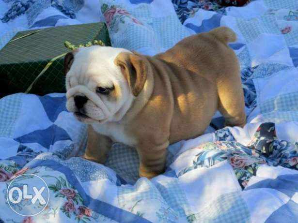 Male and female English Bulldog puppies for new homes