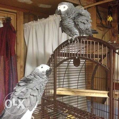 Sweet and lovely African grey parrots for sale