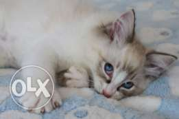 Rag doll cat available
