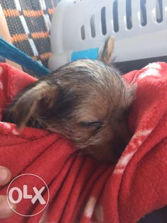 6 Week chorkie female puppy with supplies حولي -  2