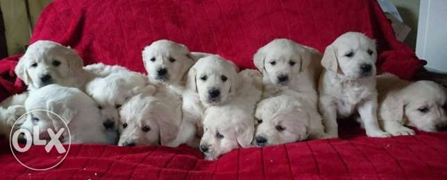 Ice White Pedigree Golden Retriever Puppies