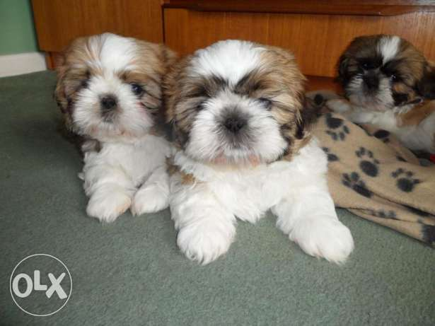 Beautiful Shihpoo Puppies Dna Pra Clear