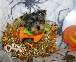 Christmas Yorkshire Terrier Puppies