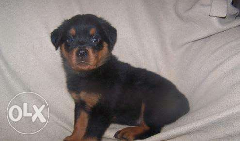 Train and well behave Rottweiler for Sales