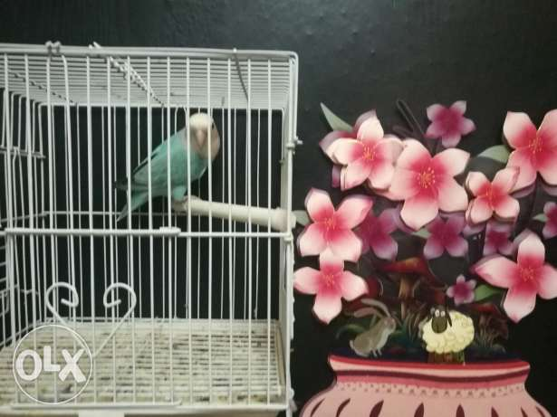 Love Bird for sell