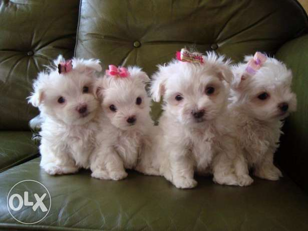 Exquisite Tiny KC Registered Maltese Puppies For Sale