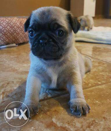 Pug For Adoption
