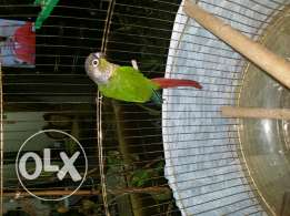Conure bird for sell