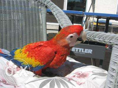 Precious Moscow Parrots Available