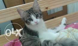 A female cat for adoption 3 months only whatsaap