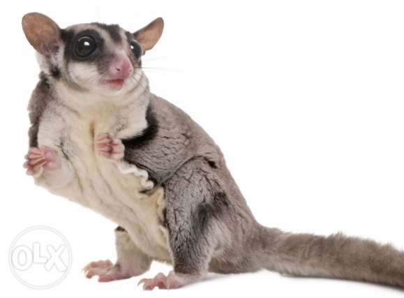 couple of adult sugar gliders for sale