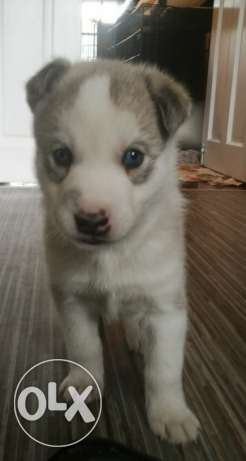 Husky Want New Frend. Be Good Person