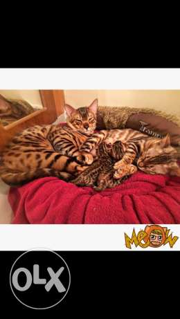 Bengal pure breed for sale ..