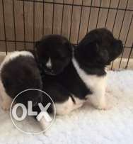 Beautiful Long Coat Male Female Puppies