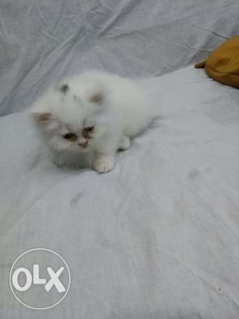 turkish cross Persian kitten