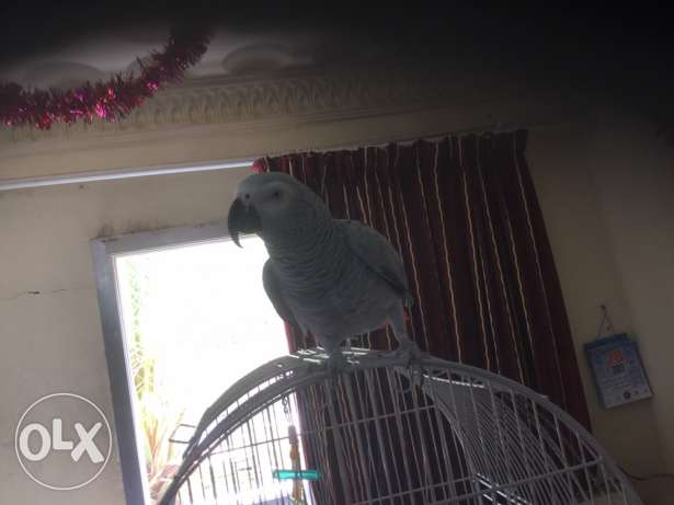 for sale African grey well trained and very good taking parrot