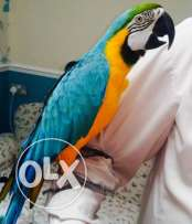 Tame blue and gold macaw for sale