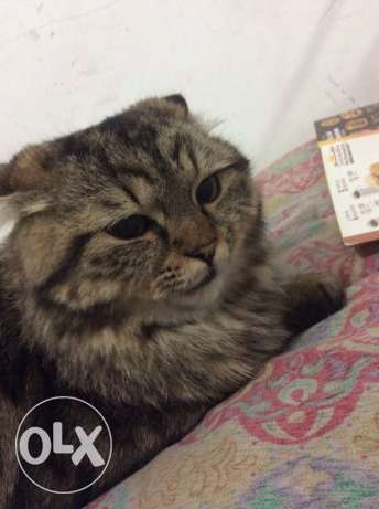 persin cat for sale good cat friendly cat name is zaytoun