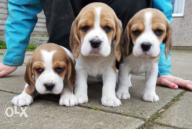 Beagle Puppies Ready Now 8 Weeks Old