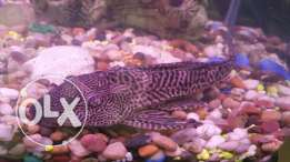 Janitor fish big size for sale or exchange