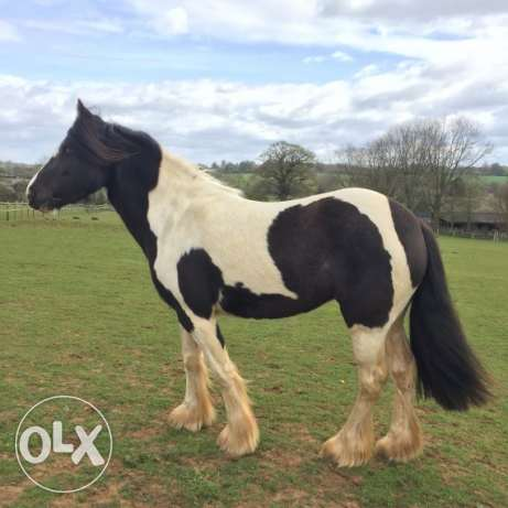 Adorable Female Cobe Horse For Sale
