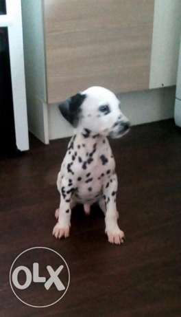 Pure Bred full pedigree Dalmatian puppies..