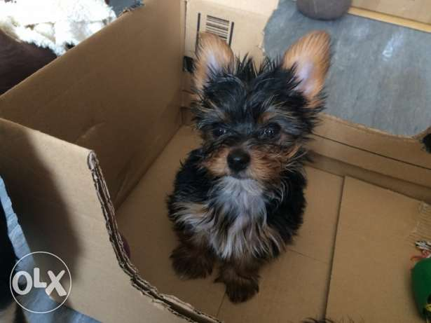 Adorable Yorkie Puppies Available for Loving Homes