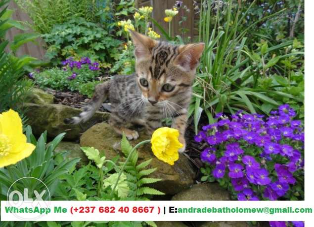 Absolutely Stunning Bengal Kittens, Girl and Boy ( The Very Best Choic