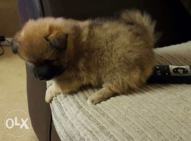 Pomeranian Needs A New Home