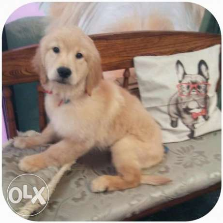 Female and male golden retriver puppies for sale