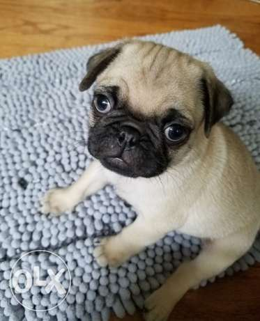 Male Pug for rehome