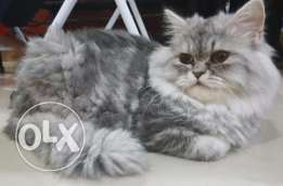 Siberian kitten for sale
