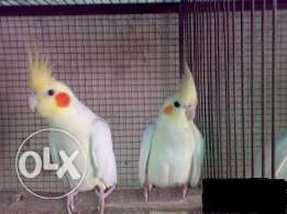 Yellow Cockatiel with Red eyes Babies for sale 20kd each