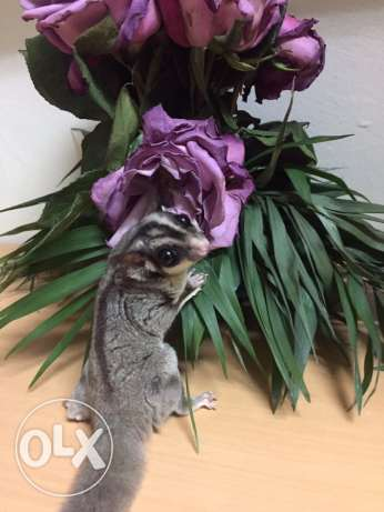 Male and Female sugar gliders for sale