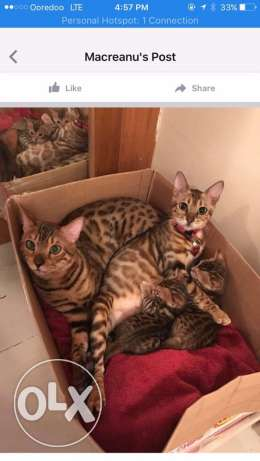 Bengal cats boys for sale