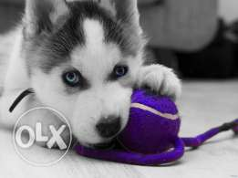 Siberian Husky Puppies Male and female for sale