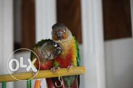 Green Cheek Conure pair for sale