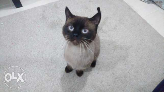 Mature Siamese Cat Looking for a Home الفنطاس -  2