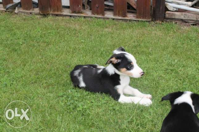 Quality Long Haired Kc Reg Border Collie Pups